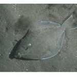 Trawling makes for skinny flatfish