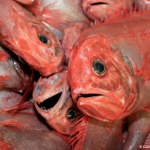 New Study reveals massive under-reporting of deep-sea fish catch