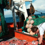 Bottom trawling for orange roughy has scientists worried