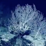 This 'Secret Garden' of Coral May Be 1,000 Years Old