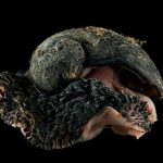 Ocean snail is first animal to be officially endangered by deep-sea mining