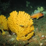 New Protections Finalized for Corals, Sponges, Underwater Canyons off U.S. West Coast