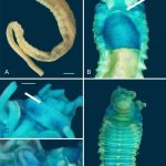 Two New Species of Deep-Sea Worms Discovered
